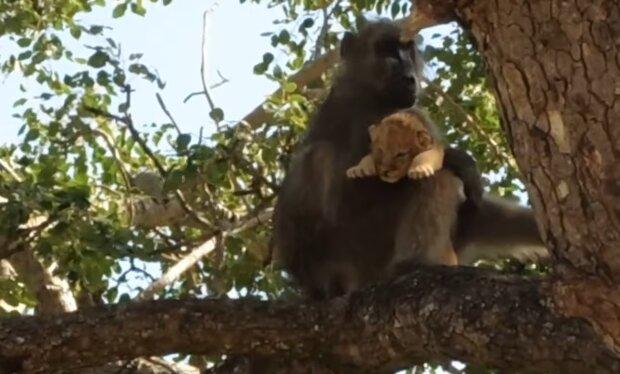 Pavian und Löwenjunge. Quelle: YouTube Screenshot