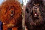 Der teuerste Hund der Welt: Wie ein tibetischer Mastiff aussieht