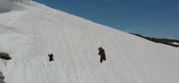 Glück ohne Ende: Die einsamste Bärin der Welt sah zum ersten Mal die alpine Natur