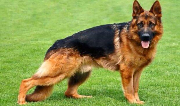 Der Schäferhund. Quelle: Screenshot YouTube