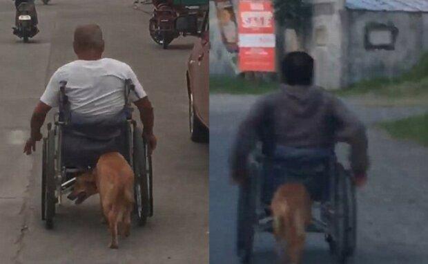 Wahrer Freund: Der Hund schiebt den Rollstuhl des Besitzers und hilft ihm, sich zu bewegen