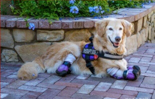 Retriever Chi-Chi hat keine Beine, aber er ist der berühmteste Hundetherapeut in Los Angeles
