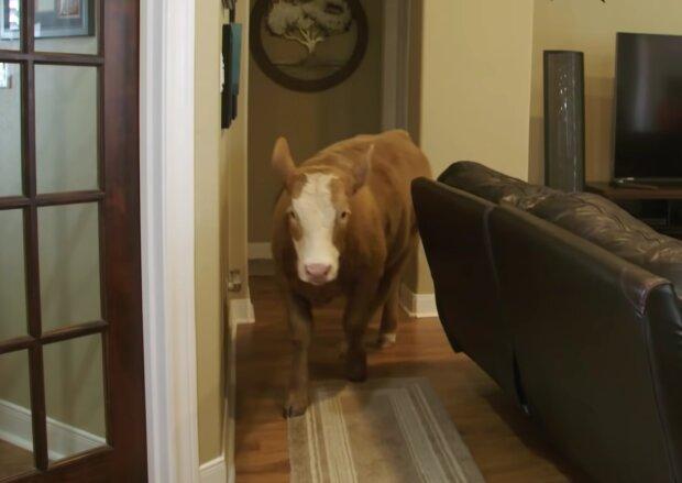 Eine Familie rettete ein Kalb während einer Überschwemmung: Jetzt läuft  erwachsene Kuh im Haus herum und denkt, sie sei ein Hund