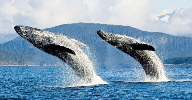 Eine wahre Legende: Wale leben noch heute, die geboren wurden, bevor Moby Dick geschrieben wurde
