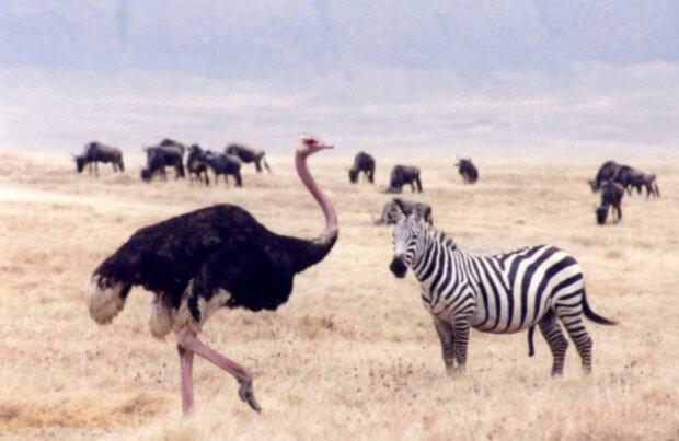 Er verließ seine Familie: Strauß hatte eine Affäre mit einem Zebra und verließ seine Kinder für das Tier