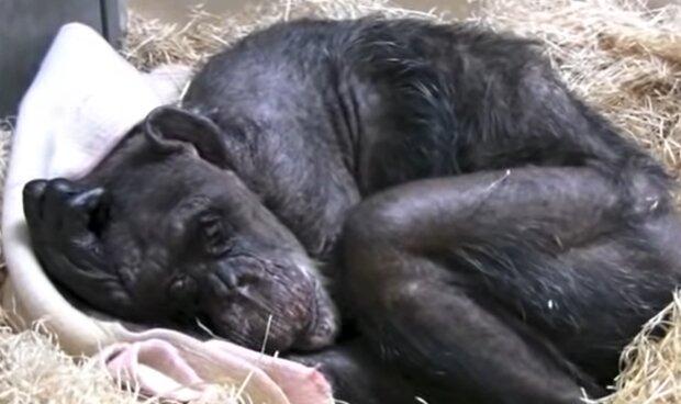 """""""Er streichelte seinen Kopf und umarmte ihn"""": wie ein alter Schimpanse sich freut, seinen guten Freund zu treffen"""