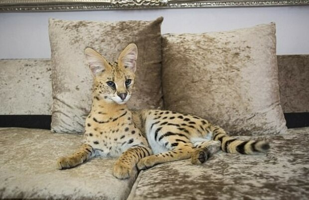 Eine Familie mit kleinen Kindern hatte keine Angst, eine Wildkatze im Haus zu haben
