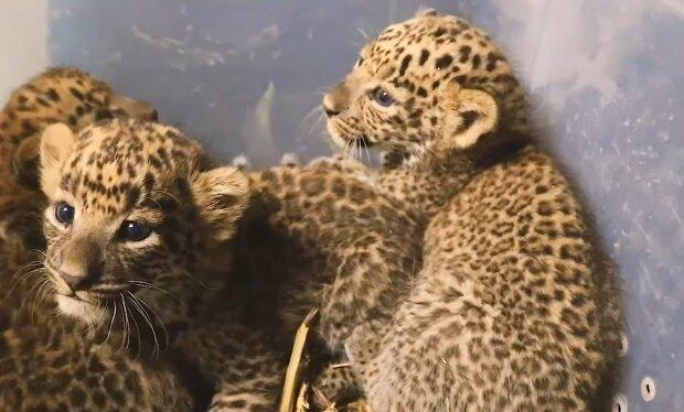 Die Rettung kleiner Leoparden. Quelle: YouTube Screenshot