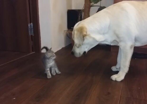 Labrador nahm Kätzchen in seine Obhut. Quelle: Screenshot Youtube