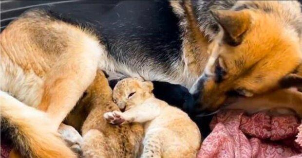 Die Hündin begann, die kleinen Löwen zu stillen, nachdem ihre Mutter auf sie verzichtete