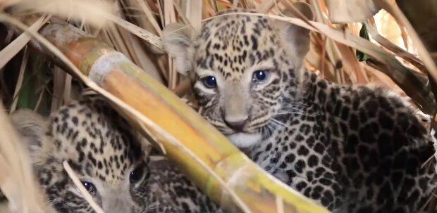 Leopardenbabys. Quelle: Screenshot YouTube