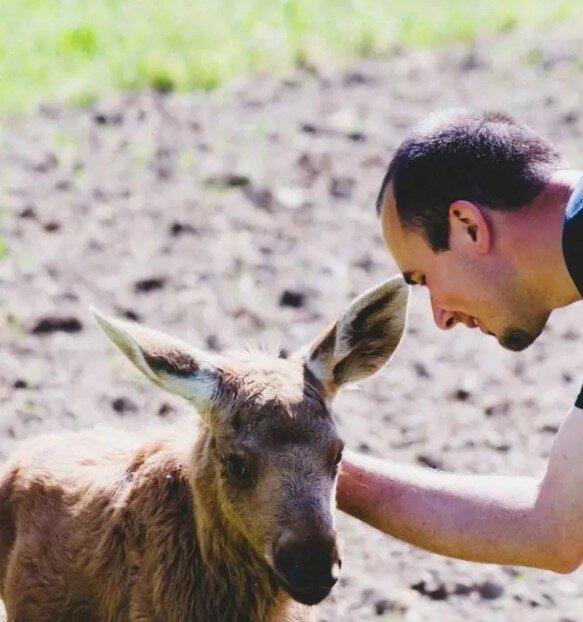 Der Mann hat den kleinen Elch gerettet, und jetzt kommt das Tier jeden Tag aus dem Wald zu ihm