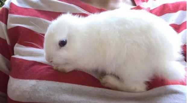 Das kleine Kaninchen wurde ohne Ohren geboren, aber seine neue Besitzerin fand eine ausgezeichnete Lösung