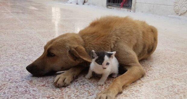 Sie fanden sich: Ein Waisenkätzchen wurde der beste Freund eines Hundes, der die Welpen verloren hat