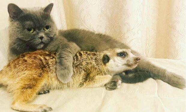 Das aus dem Streichelzoo gerettete Erdmännchen hat sich mit einer Katze befreundet und betrachtet sie nun als seine Anführerin
