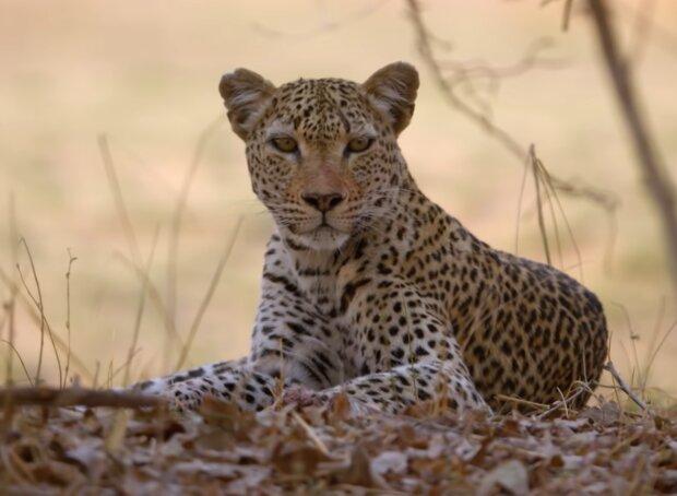 Leopard. Quelle: Screenshot Youtube