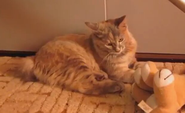 Das Kätzchen wanderte 20 km weit auf der Suche nach seinen Besitzern, die ihn aussetzten