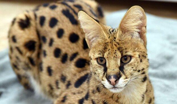 Eine ungewöhnliche gefleckte Katze lief durch die Straßen: Es stellte sich heraus, dass sie sehr viel kostet