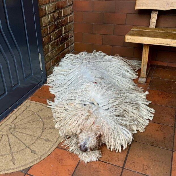Ein Hund namens Hanga der Komondor-Rasse überrascht mit den Haaren