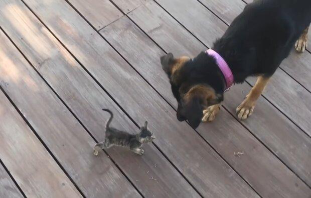 Der ältere Bruder: wie ein großer Hund ein winziges Kätzchen beschützt