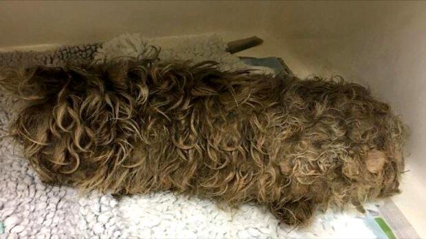 Hund mit verheddertem Haar. Quelle: Screenshot Youtube