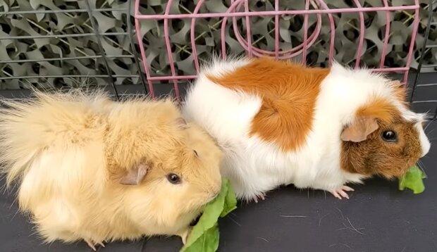 Los Angeles Guinea Pig Rescue. Quelle: YouTube Screenshot
