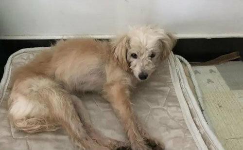 Der treue Hund lief mehrere Tage und legte 60 Kilometer zurück, um zu seiner Familie zurückzukehren