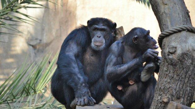 Schimpansefamilie. Quelle: naked-science