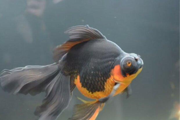 10 Jahre lang wollte niemand einen kleinen Fisch zu sich nehmen, aber eine junge Frau rettete ihm das Leben